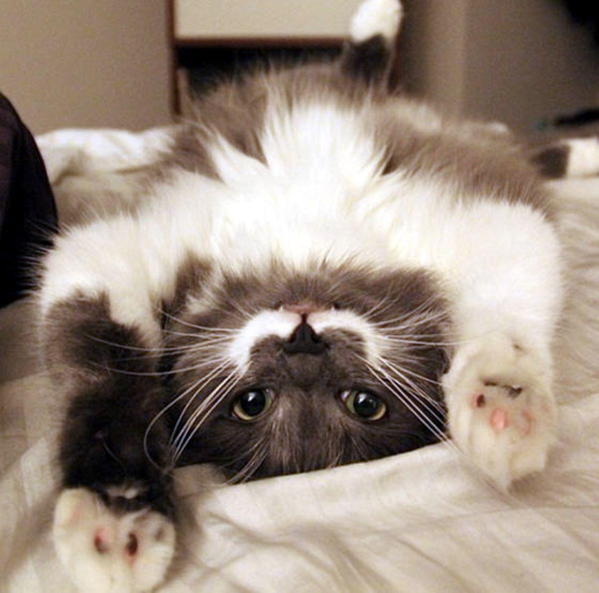 gatto-a-pancia-in-su