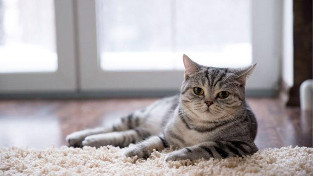 gatto-su-tappeto