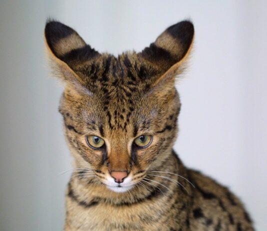 gatto savannah primo piano