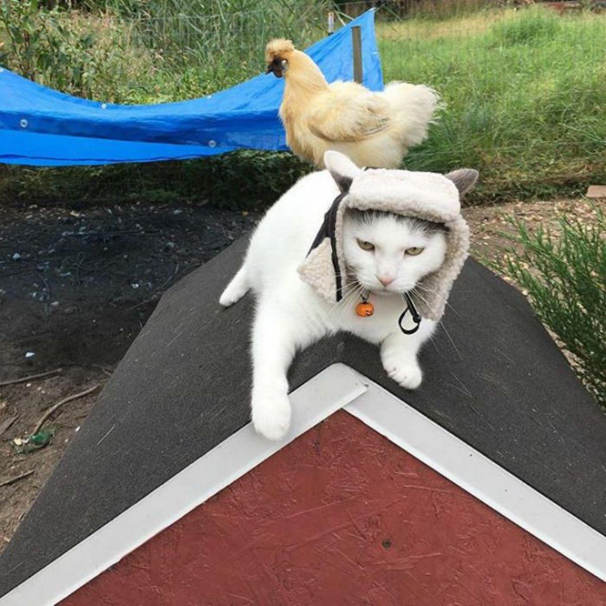 gatto-con-gallina