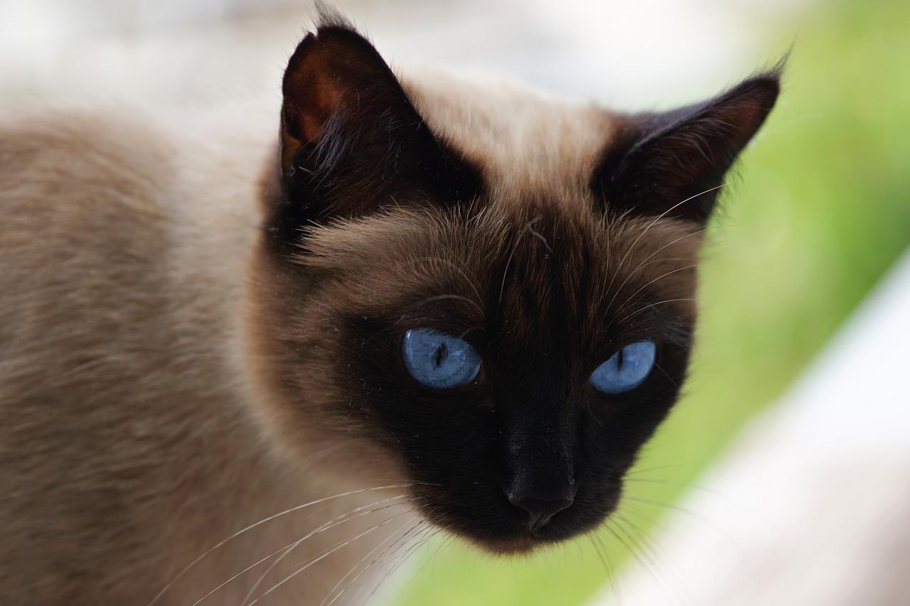 gatto siamese da vicino