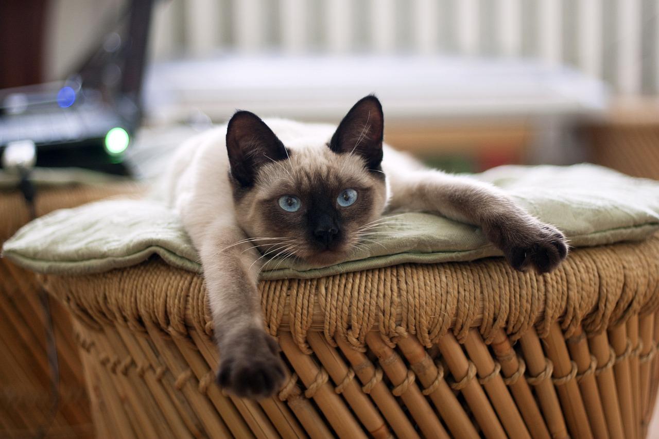 gatto siamese giocherellone