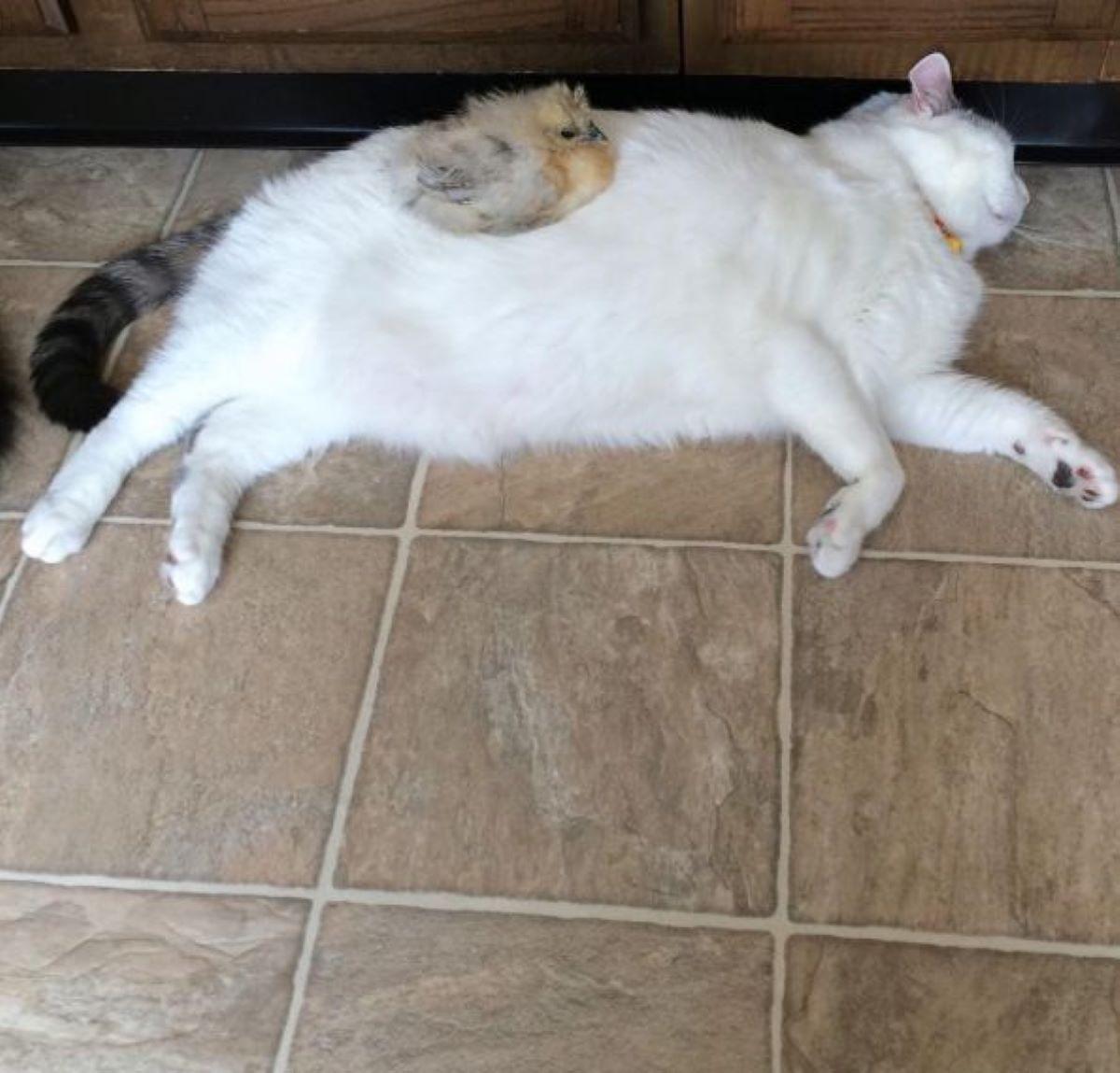 pulcino-che-dorme-sopra-gatto