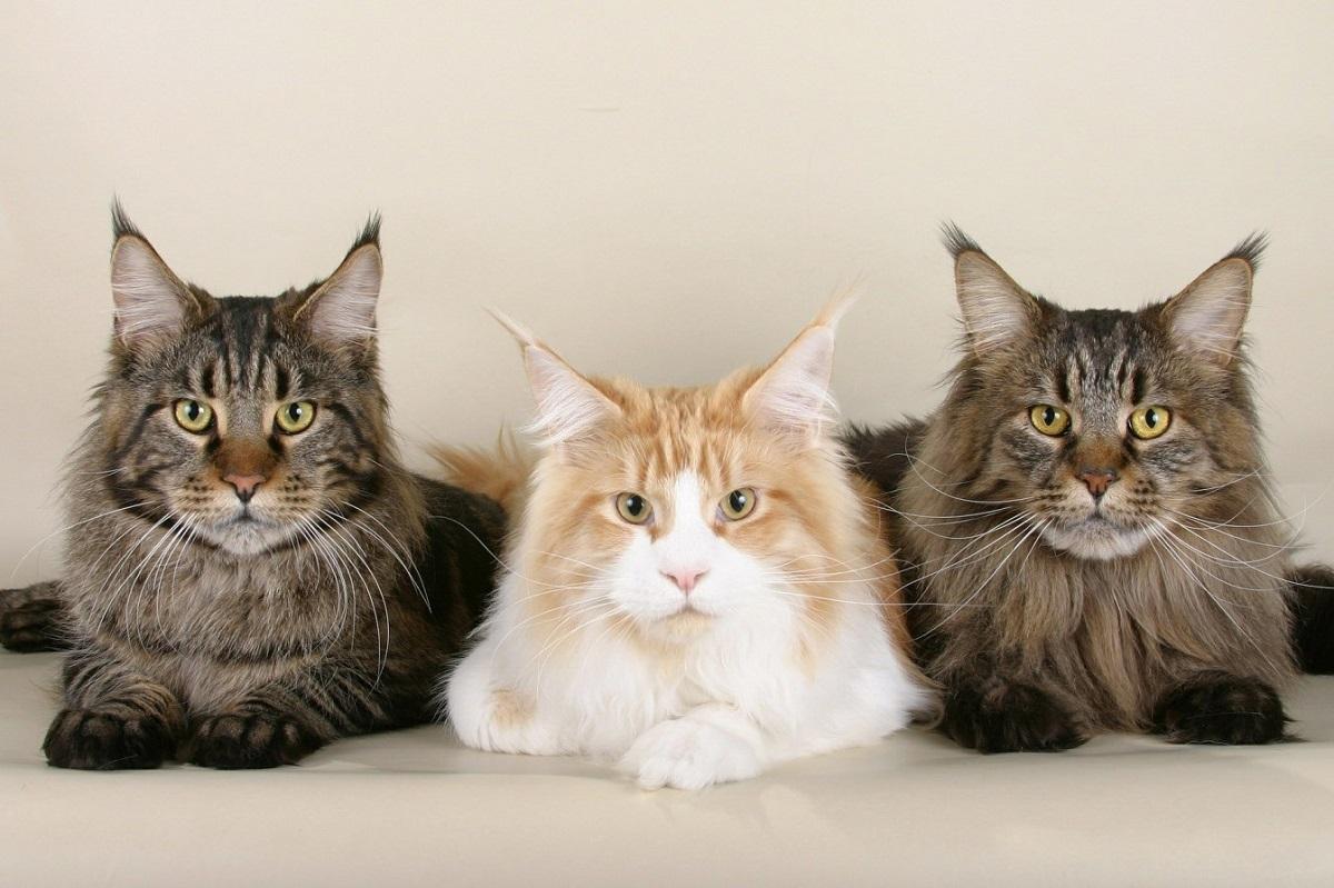 3 gatti maine coon