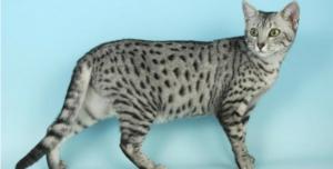 Gatto egiziano: significato e simbologia nell'antico Egitto