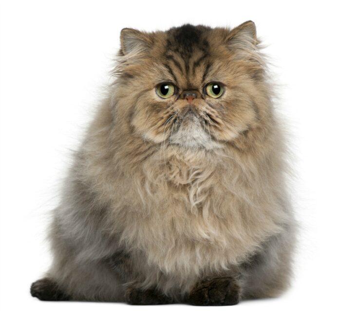 Come scegliere un gatto Persiano