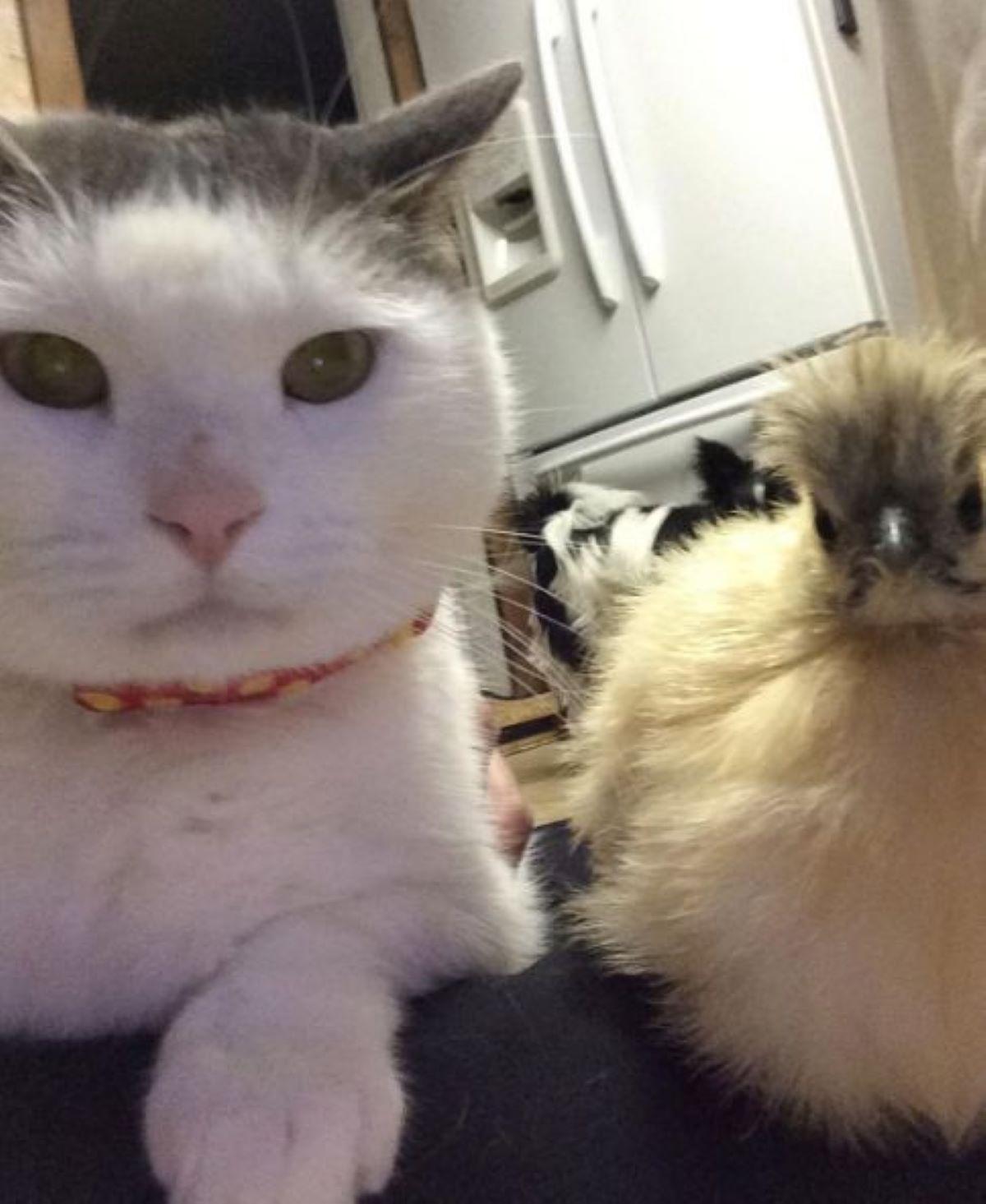 gatto-e-pulcino
