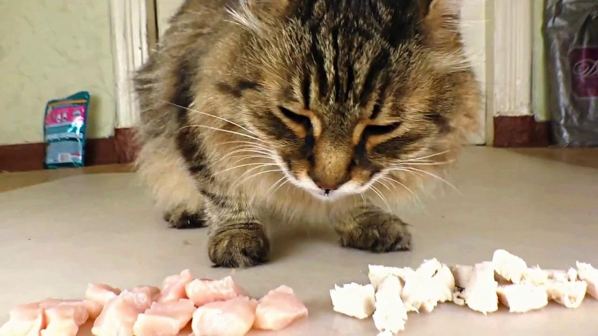 gatto davanti a cubetti di pollo crudo e cotto