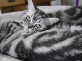 Gatto Whiskas razza British Shorthair conosciamola