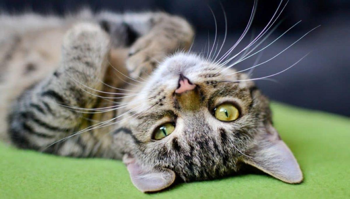 gatto-su-tappeto-verde