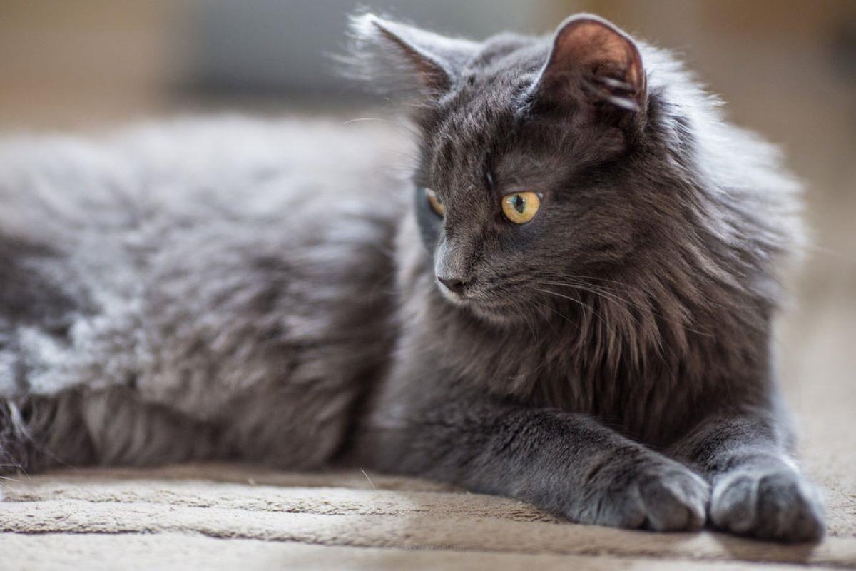gatto-pelo-grigio-folto