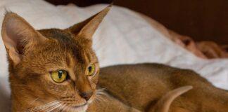 Gatto abissino: tutti i colori