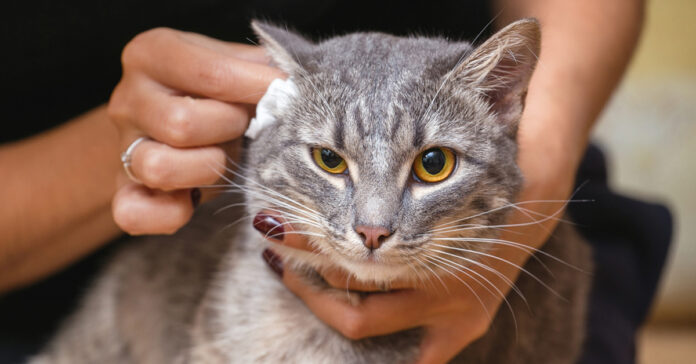 Come pulire le orecchie al gatto