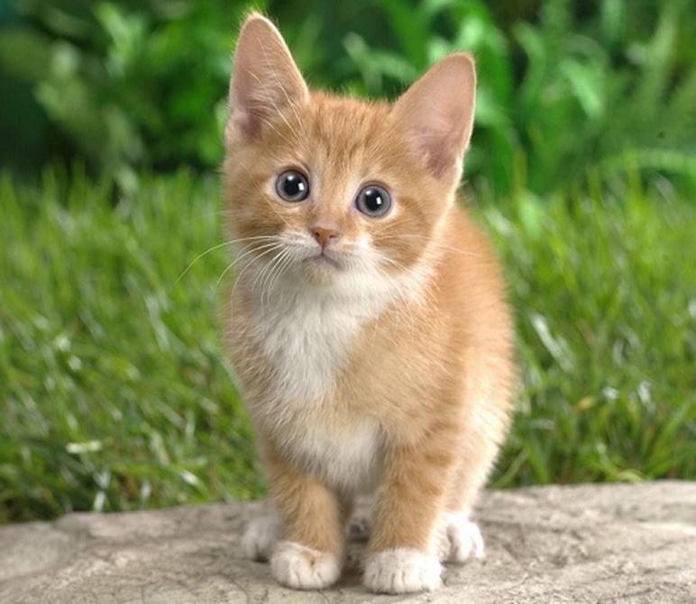 Cucciolo di gatto che fissa