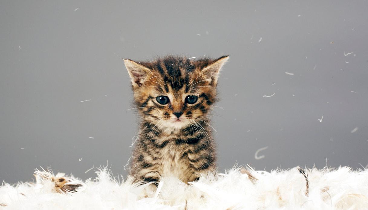 Cucciolo di gatto tra le piume
