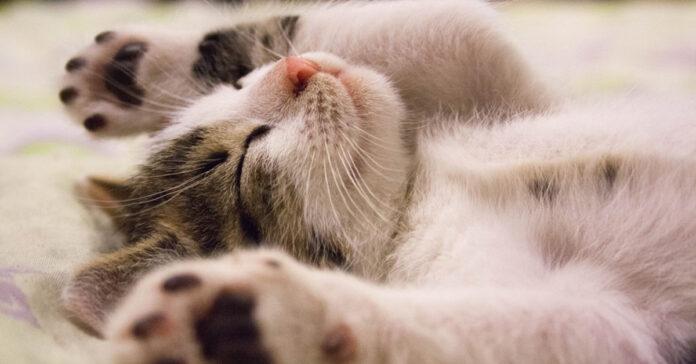 Gattino che dorme sulla schiena