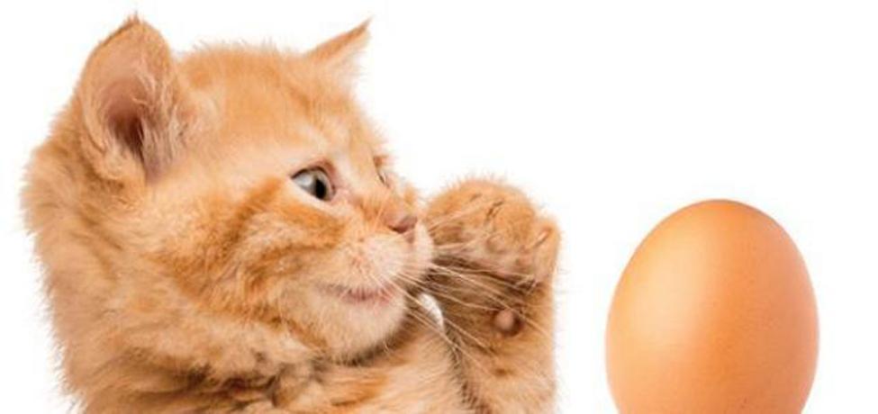 Gattino che guarda un uovo