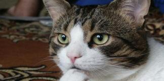 Gatto che contempla
