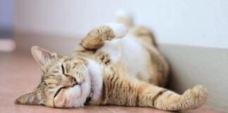 Gatto che dorme sulla schiena