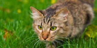 Gatto che punta una preda
