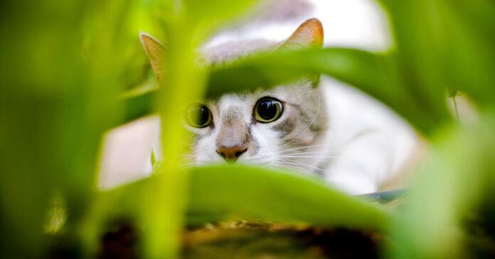 Gatto nascosto nell'erba