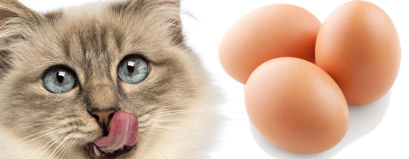 Il gatto può mangiare le uova