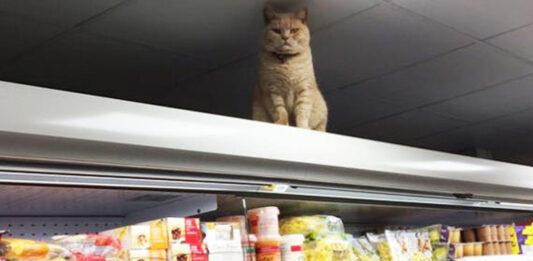 Olly il gatto commesso