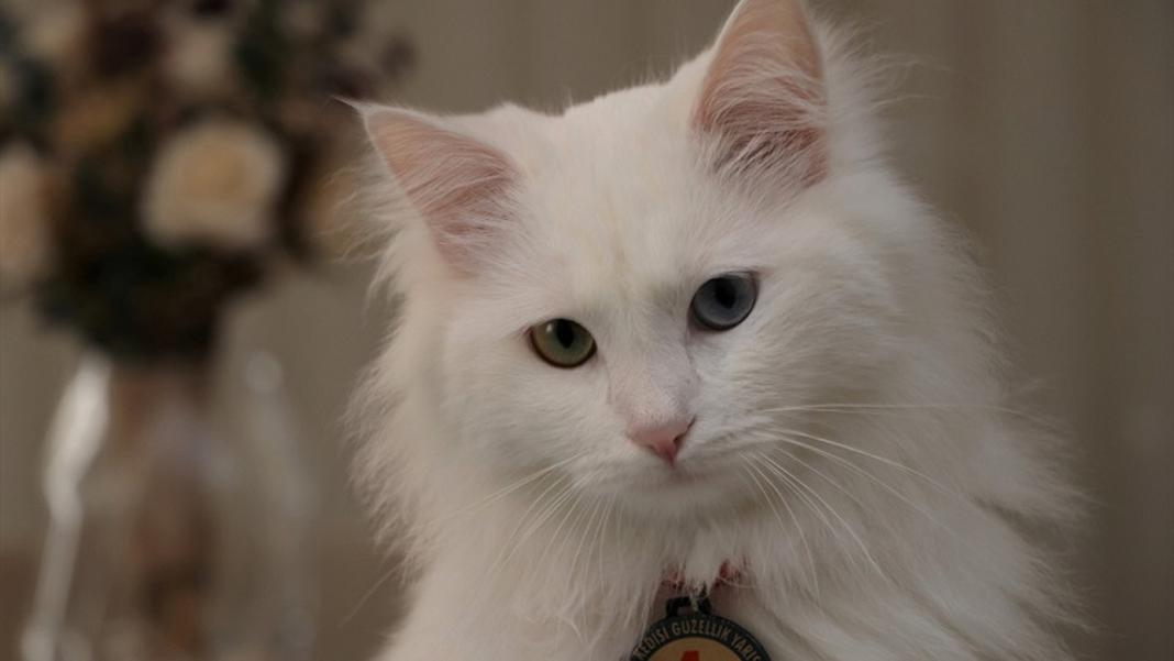 Un gatto con gli occhi di colore diverso