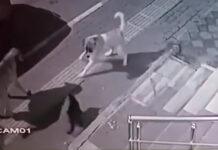Video di gatto che mette in fuga un cane