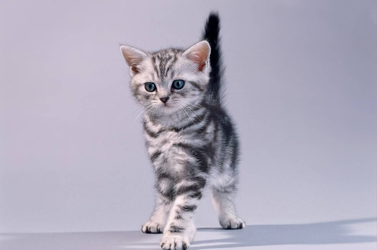 cucciolo american shorthair