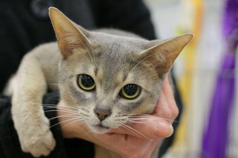 Gatto Abissino blu: una variante particolare