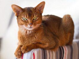 Gatto abissino: dimensioni e peso medio