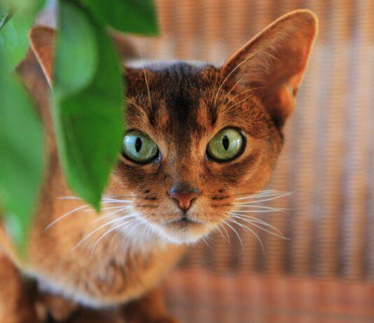 gatto abissino primo piano