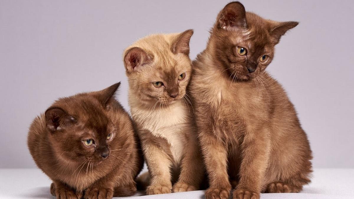 3 gatti burmesi