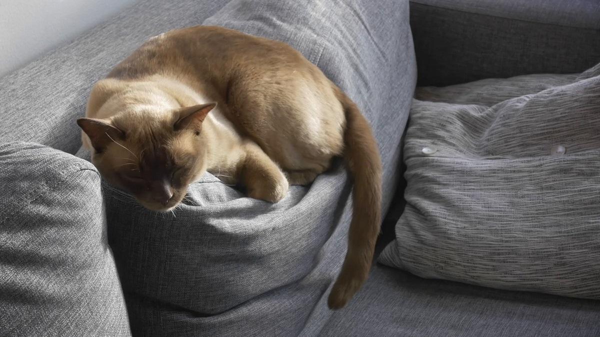 burmese dorme sul divano