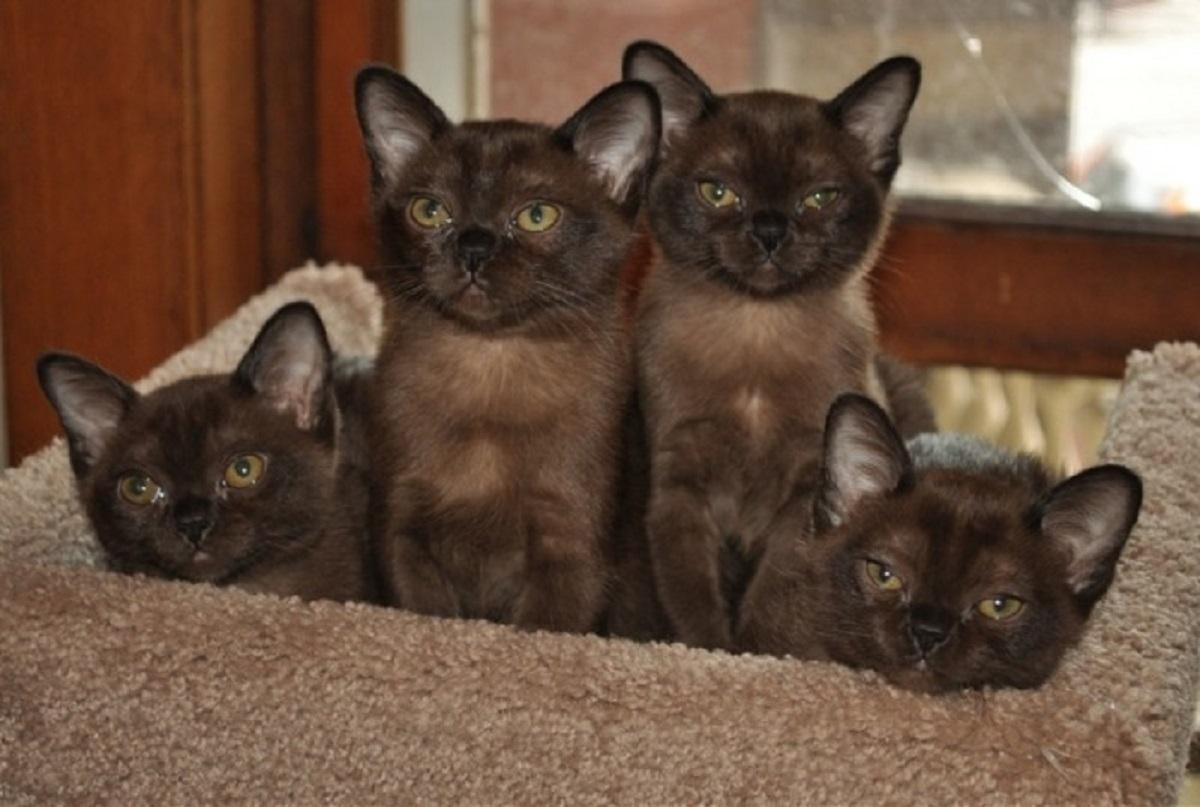 cuccioli di gatto burmese