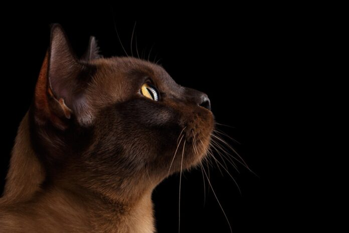 gatto burmese sfondo nero