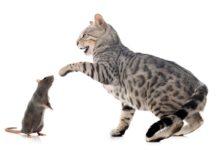 gatto del bengala con topo