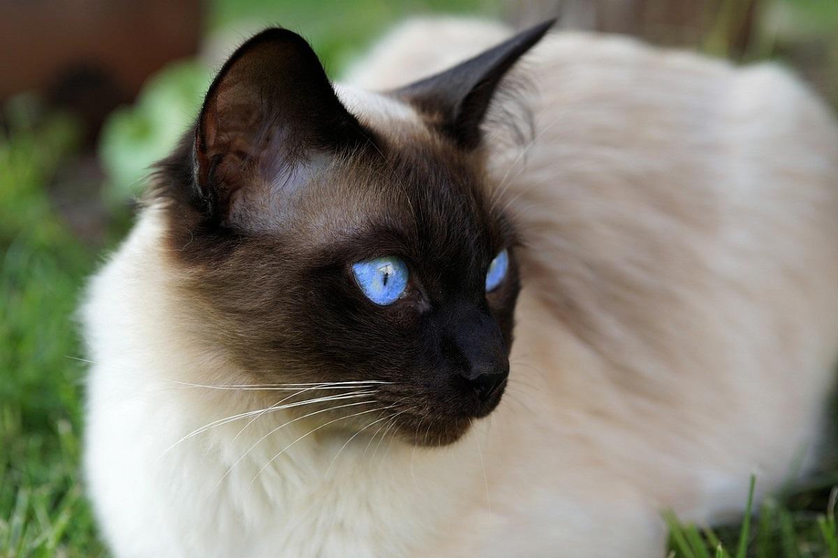 gatto siamese occhi blu