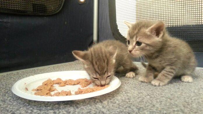 Gattino che non mangia