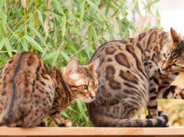 ocicat e gatto del bengala