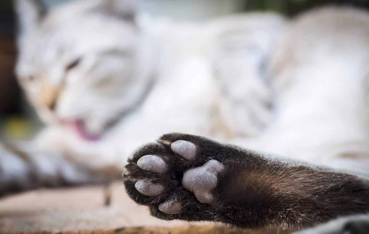gatti con zampa in primo piano