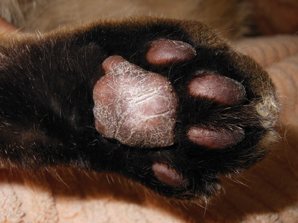 zampa di gatto affetta da pododermatite