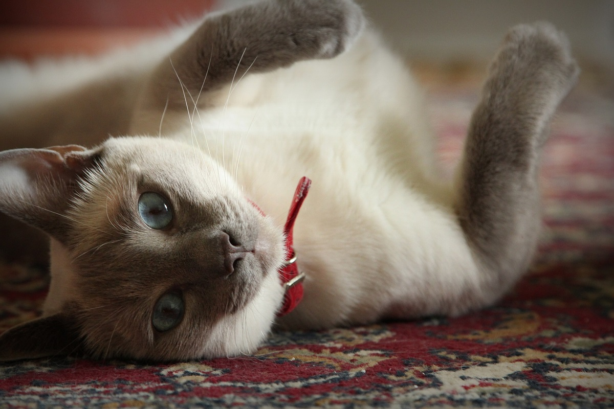 gatto su tappeto