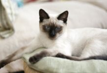 Differenza tra gatto Thai e Siamese