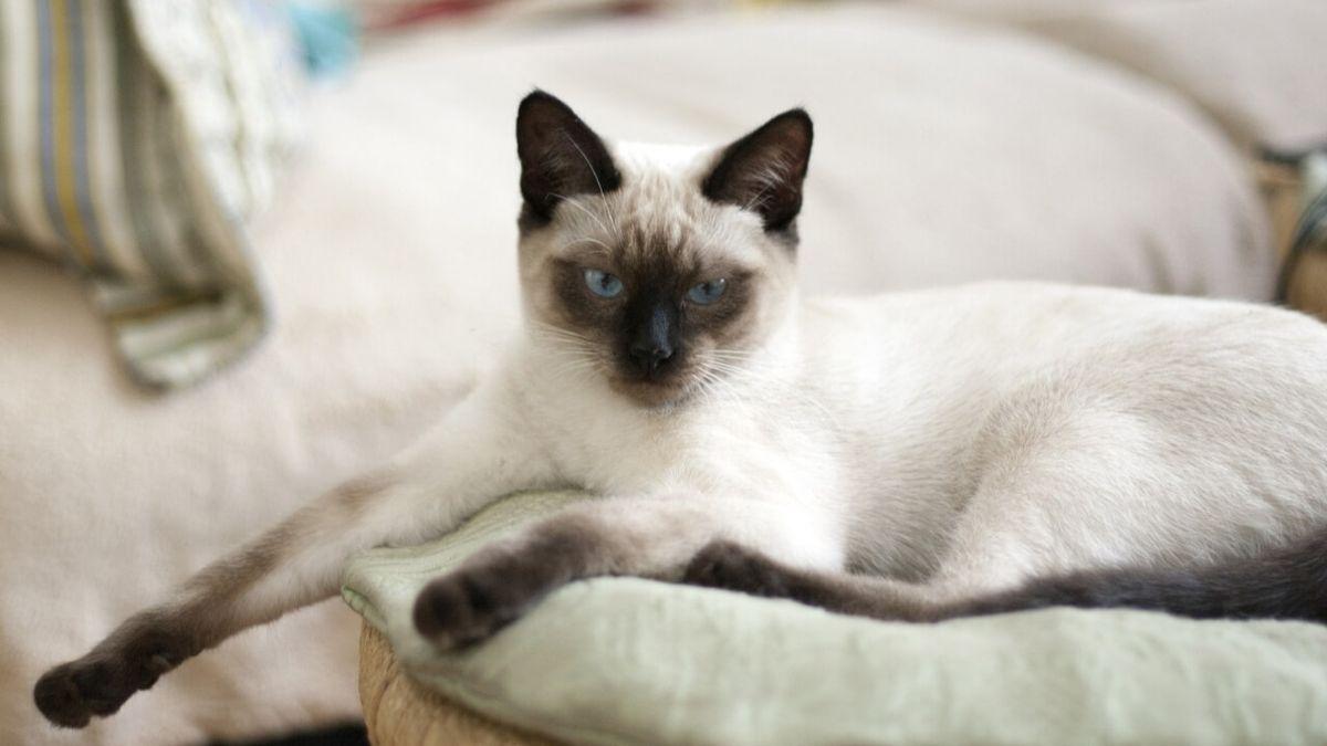 Differenza tra gatto Thai e Siamese