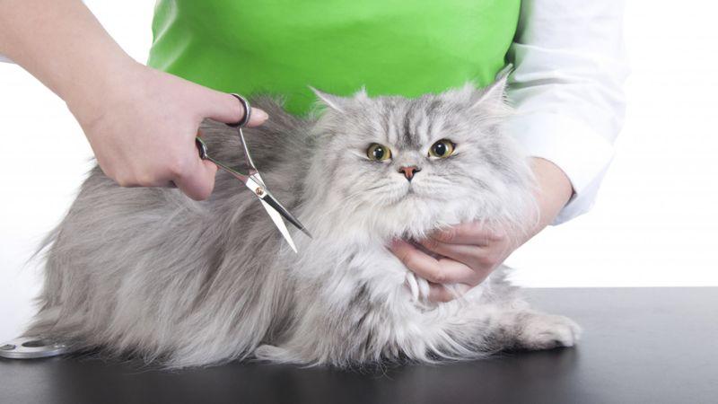 Sciogliere i nodi del gatto Persiano