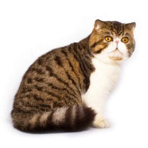 Exotic Shorthair: prendersi cura del gatto