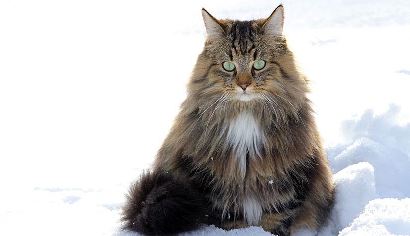 Gatto Norvegese: è anallergico?