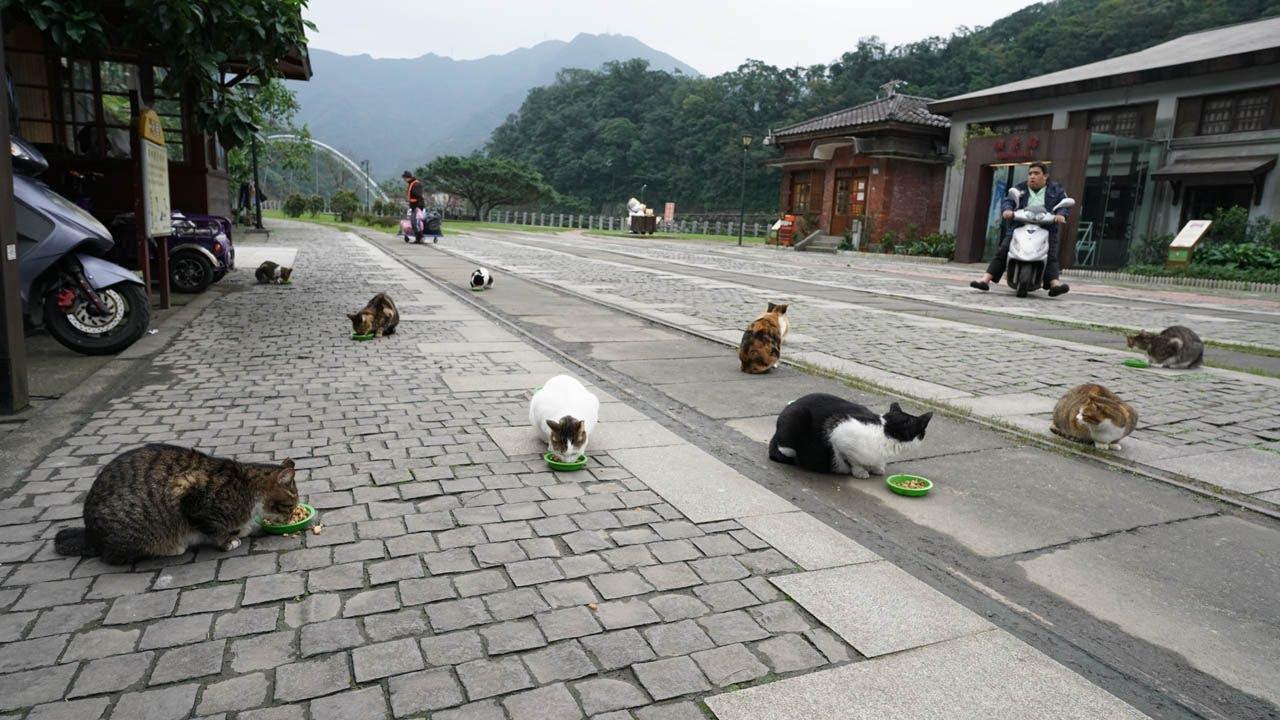 Gatti nel villaggio di Houtong